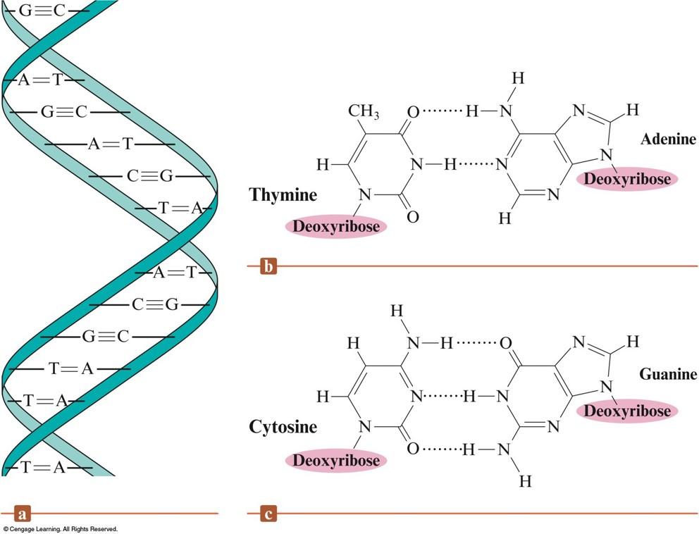 Molecular structure of DNA video  Khan Academy